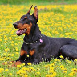 Pes je radost, ale i závazek na mnoho let