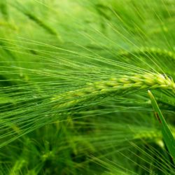 barley-509954_1280